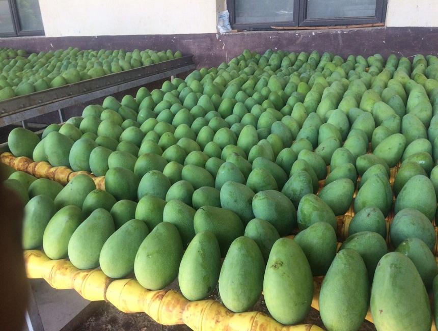 Banganapalli Mangoes Suppliers, Banganapalli Mangoes