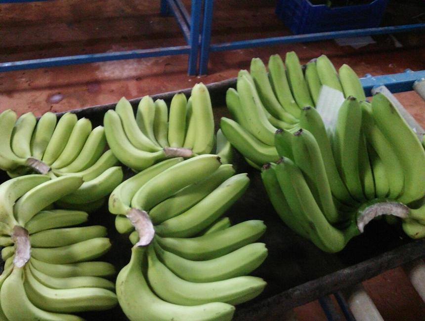 Organic Natural Green Cavendish Banana / G9 Banana In Exporters India.860 x 650 jpeg 70kB
