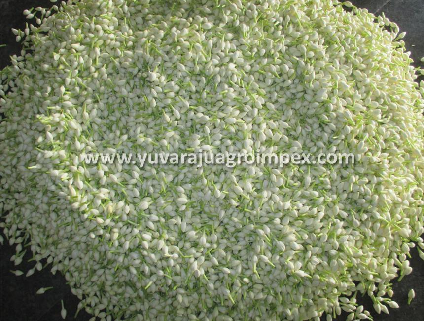 Fresh Jasmine Cut Flowers Exporter to United Arab Emirates/ Myanmar